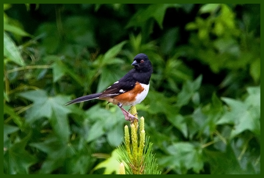 Eastern Towhee (M) -- (Pipilo erythrophtalmus)